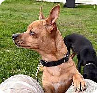 Miniature Pinscher Dog for adoption in Syracuse, New York - Tulip