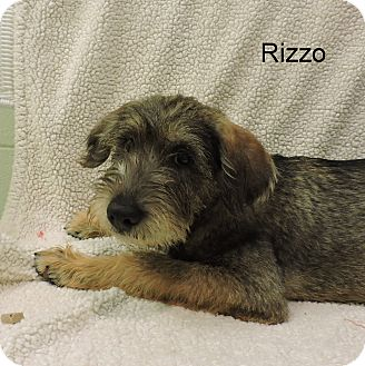 Bloodhound/Terrier (Unknown Type, Medium) Mix Puppy for adoption in Slidell, Louisiana - Rizzo