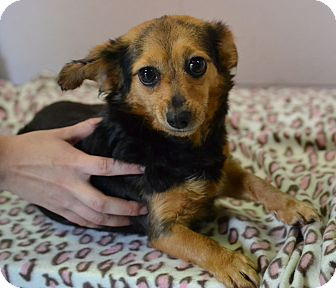 Chihuahua/Dachshund Mix Dog for adoption in Michigan City, Indiana - Rosie