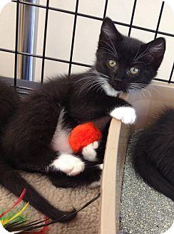 Domestic Shorthair Kitten for adoption in Horsham, Pennsylvania - Hazel