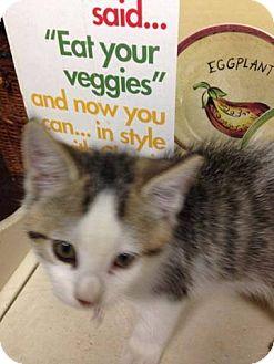 Domestic Mediumhair Kitten for adoption in Putnam, Connecticut - Huckleberry