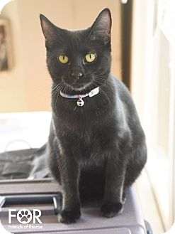 Domestic Shorthair Cat for adoption in Knoxville, Tennessee - Sheba