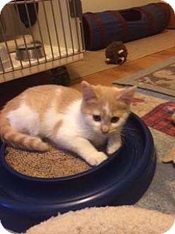 Domestic Mediumhair Kitten for adoption in Overland Park, Kansas - Duane