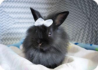 Lionhead Mix for adoption in Montclair, California - Holly