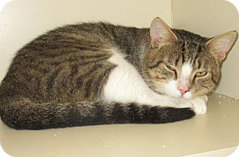 Domestic Shorthair Cat for adoption in Elizabeth City, North Carolina - Nike