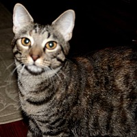 Adopt A Pet :: Olivia - Saint Augustine, FL
