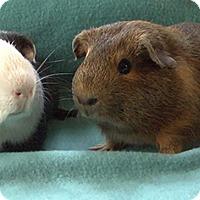 Adopt A Pet :: Grandall - Highland, IN
