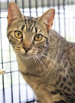 Domestic Mediumhair Cat for adoption in Hammond, Louisiana - Lexi