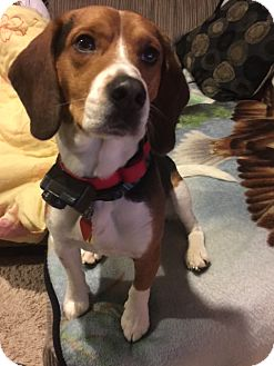 Beagle Mix Dog for adoption in cedar grove, Indiana - TJ