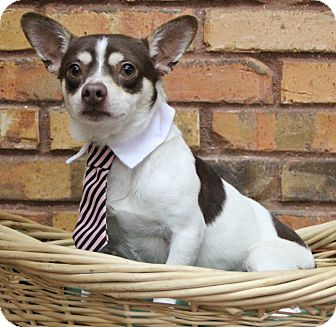 Chihuahua Mix Dog for adoption in Benbrook, Texas - Harry