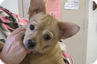 Chihuahua Mix Dog for adoption in Reed City, Michigan - DIXIE