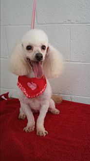 Poodle (Miniature) Dog for adoption in chaparral, New Mexico - candy