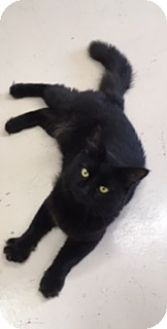 Domestic Mediumhair Cat for adoption in Washington, North Carolina - MAX