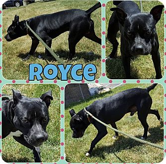 American Staffordshire Terrier Mix Dog for adoption in Taylor, Michigan - Royce