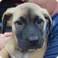 Adopt A Pet :: NADIA - Cranston, RI