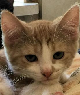 Domestic Shorthair/Domestic Shorthair Mix Cat for adoption in Manchester, Missouri - Carlisle