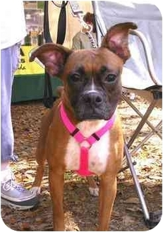 Boxer Dog for adoption in Tallahassee, Florida - Laila