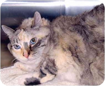 Domestic Longhair Cat for adoption in Grass Valley, California - Cassandra
