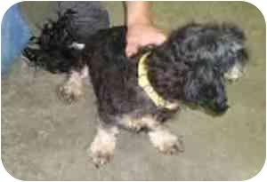Dachshund/Shih Tzu Mix Dog for adoption in Cole Camp, Missouri - Sully