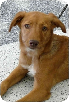 Golden Retriever/Terrier (Unknown Type, Medium) Mix Dog for adoption in Sacramento, California - Ruby trained