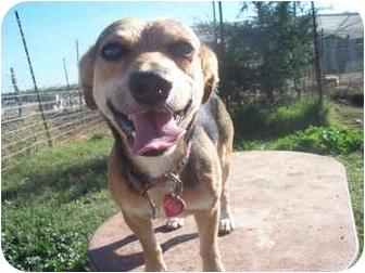 Beagle Mix Dog for adoption in Sacramento, California - Ross