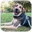 Photo 2 - Hound (Unknown Type)/Shepherd (Unknown Type) Mix Dog for adoption in Long Beach, New York - Polo