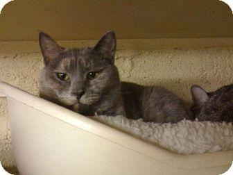 Domestic Shorthair Cat for adoption in Lombard, Illinois - Sasha