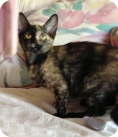 Domestic Shorthair Kitten for adoption in Warren, Michigan - Prada