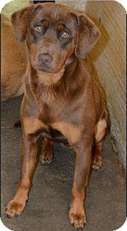 Doberman Pinscher Mix Dog for adoption in Manhasset, New York - Pending -- Hunter