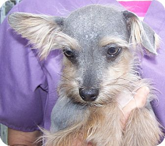Xoloitzcuintle/Mexican Hairless/Yorkie, Yorkshire Terrier Mix Puppy for adoption in Grants Pass, Oregon - Jerry