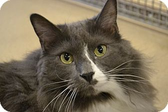 Domestic Longhair Cat for adoption in North St. Paul, Minnesota - Tommy