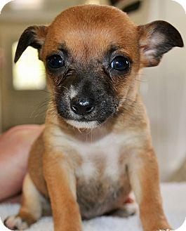 Chihuahua Puppy for adoption in Plattsmouth, Nebraska - Posy