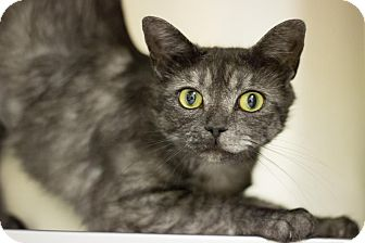 Domestic Shorthair Cat for adoption in Wilmington, North Carolina - Smoky