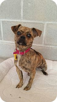 Boston Terrier/Pug Mix Puppy for adoption in Chicago, Illinois - Summer