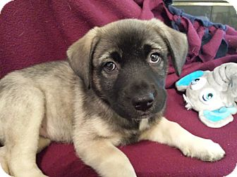 Shepherd (Unknown Type)/Husky Mix Puppy for adoption in Huntsville, Alabama - Phoebe Puppy
