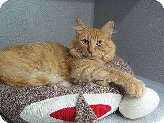 Domestic Mediumhair Cat for adoption in Buffalo, Wyoming - Sam