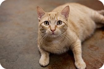 Domestic Shorthair Cat for adoption in Carencro, Louisiana - Maria