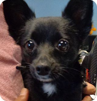 Chihuahua Mix Dog for adoption in Orlando, Florida - Pepe