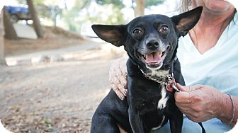 Chihuahua Dog for adoption in Van Nuys, California - Henry