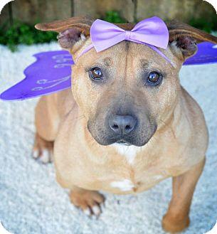Pit Bull Terrier Mix Dog for adoption in Kimberton, Pennsylvania - Amelia