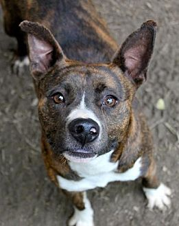 Boxer/Staffordshire Bull Terrier Mix Dog for adoption in Memphis, Tennessee - Bernie
