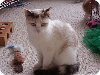 Siamese Cat for adoption in Monroe, Georgia - Selene