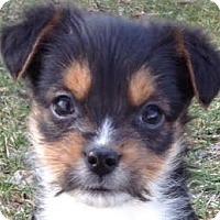 Adopt A Pet :: Shae - Minneapolis, MN