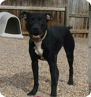 Labrador Retriever/Pit Bull Terrier Mix Dog for adoption in Harrisburg, North Carolina - Bailey