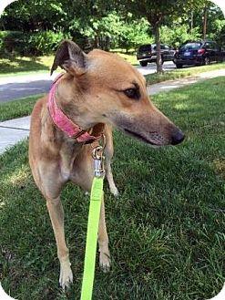 Greyhound Dog for adoption in Spencerville, Maryland - Cheyannne
