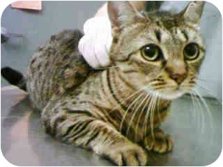Egyptian Mau Cat for adoption in New York, New York - Cleo