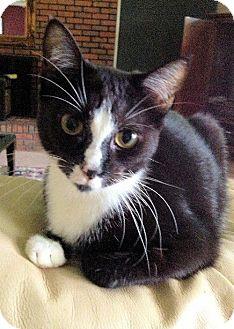 Domestic Shorthair Cat for adoption in Buford, Georgia - Siri