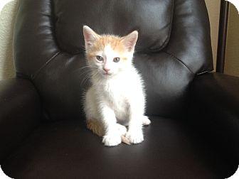 Domestic Shorthair Kitten for adoption in Schertz, Texas - Chips SH