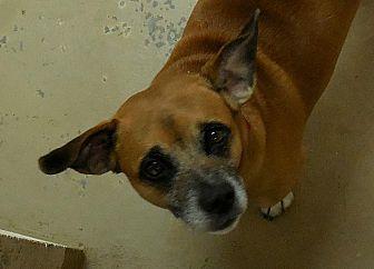 Pug/Basset Hound Mix Dog for adoption in Salem, West Virginia - Boots