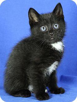 Domestic Shorthair Kitten for adoption in Winston-Salem, North Carolina - Bubba